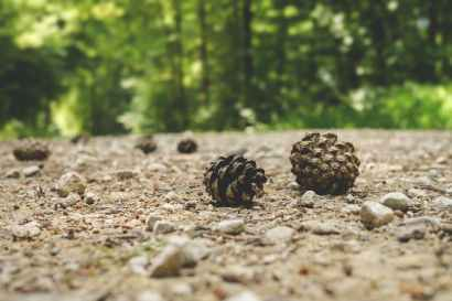 depth of field fir cone forest gravel