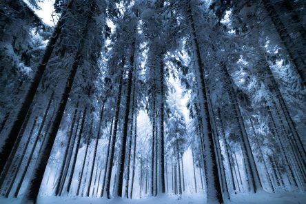 talvimetsan puunrungot